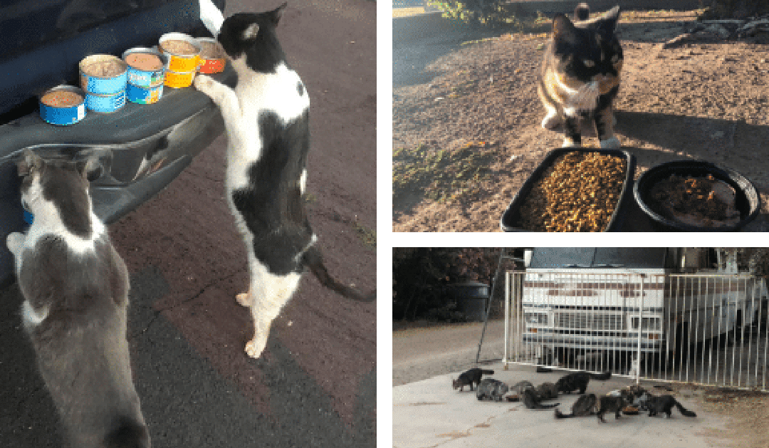 Feeding and Caring for Feral Cat Colonies in Phoenix